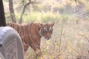 Tiger Ranthombore