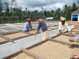 Coffee Beans Drying